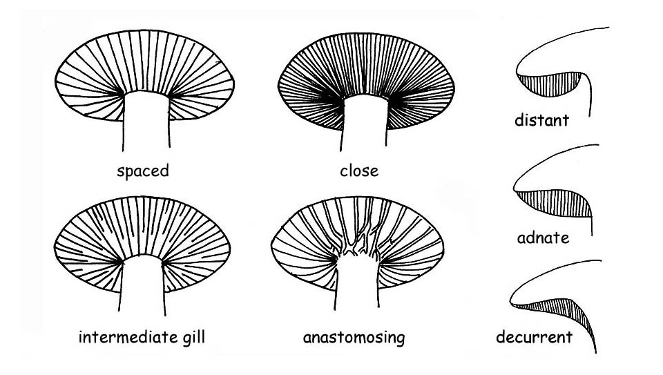 Gills and tubes types © Maria Tullii