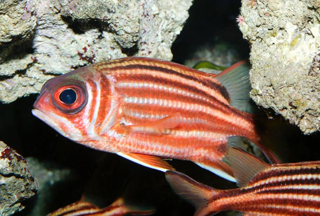 Due to the climatic changes, this Squirrelfish (Sargocentron rubrum) has invaded the Mediterranean © Mazza
