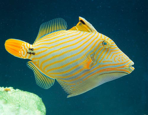 Balistapus undulates. As the shape and name suggest, it's a Triggerfish © Mazza