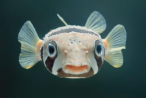 The eyes of the fishes have a still iris and a spherical lens © Giuseppe Mazza