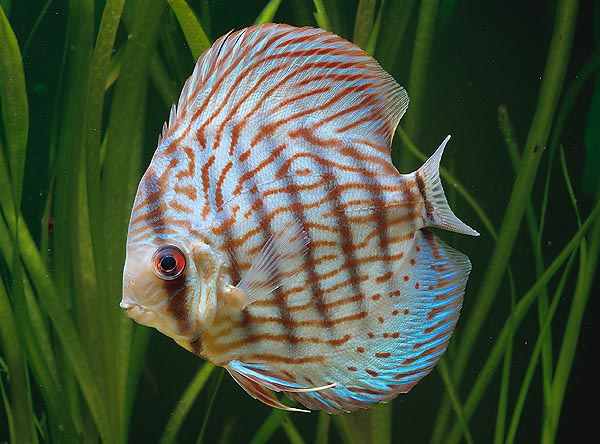 The famous Discus fish (Symphysodon aequifasciata) much loved by the aquarists © Giuseppe Mazza