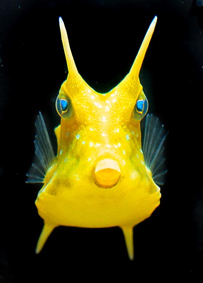 The Lactoria cornuta is a typical Boxfish © Giuseppe Mazza