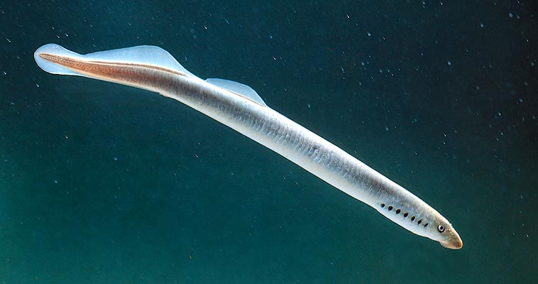 The Lampetra zanandreai is an organism with detrivorous-filtrating diet, as jawless © Giuseppe Mazza
