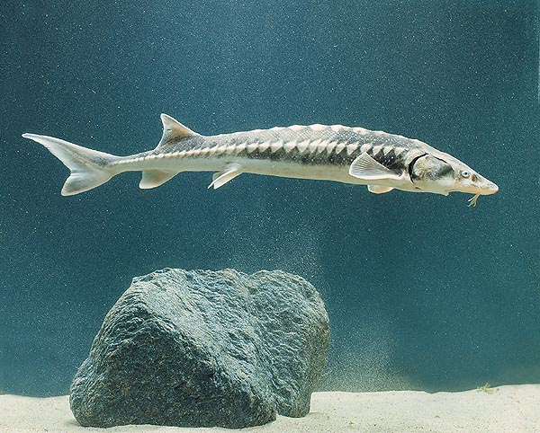 The Sturgeon (Acipenser sturio) reaches the 3 m but well adapts to breeding in captivity © Mazza