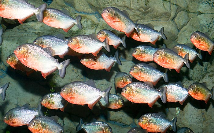 Usually, the piranhas (Pygocentrus nattereri) live in crowd © Giuseppe Mazza