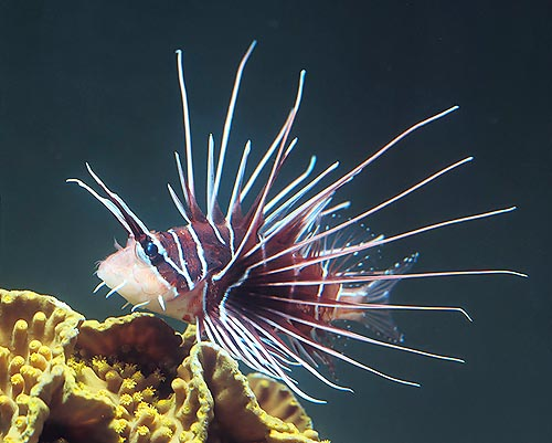 Pterois radiate, a luxury clearfin lionfish © Giuseppe Mazza
