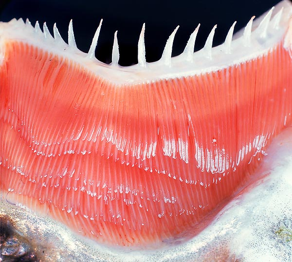 Striking picture of the gills of a trout © Giuseppe Mazza