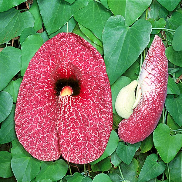 The Aristolochia gigantea disturbing flower may be 20 cm long © Giuseppe Mazza