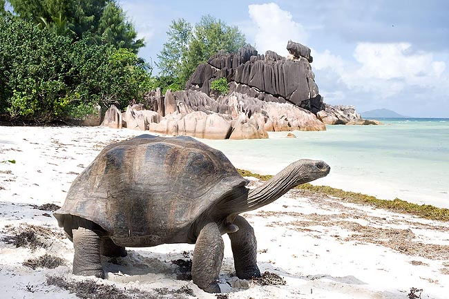 The Dipsochelys elephantina of the Seychelles is the greatest terrestrial tortoise © Giuseppe Mazza