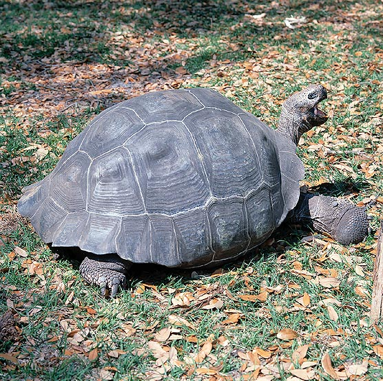 The Geochelone elephantopus is smaller than the Seychelles giant turtle © Mazza