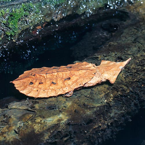 Resembling to a leaf, the Chelus fimbriatus of Amazonas is much camouflaged © Mazza