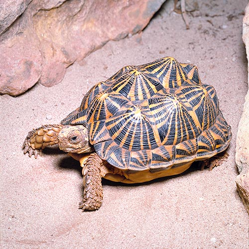 The Psammobates tentorius is a splendid tortoise of South Africa © Giuseppe Mazza