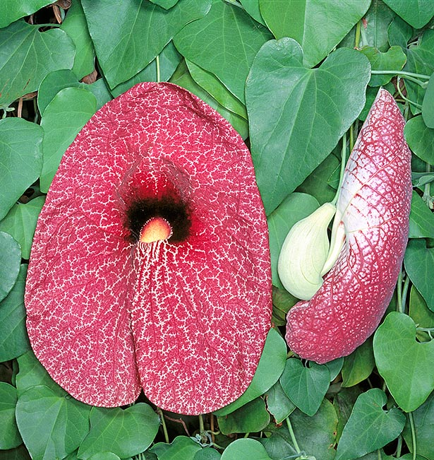 Native to Brazil, Colombia and Panama, Aristolochia gigantea is an evergreen climber with even 10 m long stems lignifying at the base. The fruits are drooping, with dark purple arabesques and reach 20 cm with a disturbing orange-yellow fauces surrounded on top by a black spot with white hairs that favour the entry to passing by pollinating insect, but prevent its exit till when fecundation is done © Giuseppe Mazza