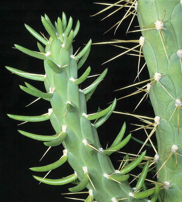 Native to Peruvian Andes, Austrocylindropuntia subulata is a columnar-like species reaching 4 m. Odd is the presence of young stems of fleshy awl-shaped leaves, even 12 cm long, to remind us the epic of the cactaceae who lost in the millennia their leaves to reduce transpiration and adapt to the deserts life © Giuseppe Mazza