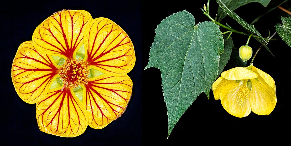 Grouping of hybrids obtained in Europe since '800 from various species of Abutilon of South American origin, mainly A. darwinii, A. pictum and A. striatum © G. Mazza