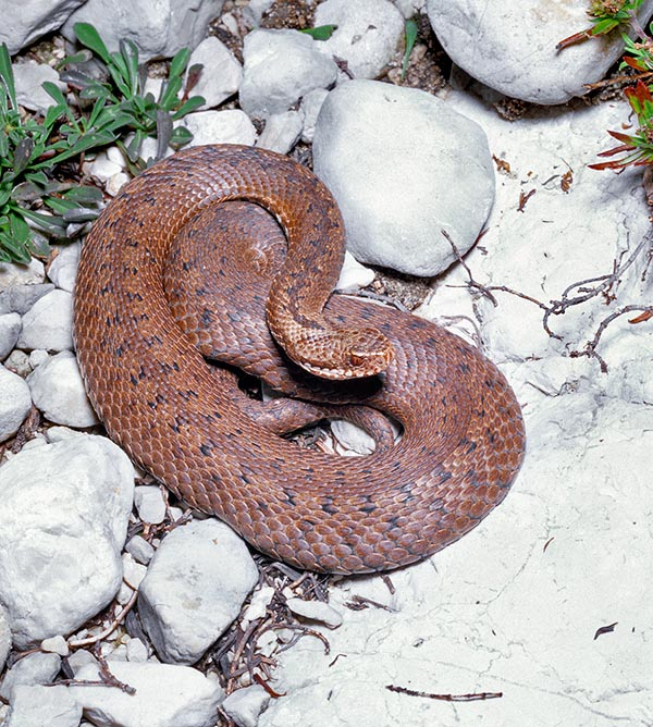 The livery of the Vipera berus is quite variable. Here is an almost uniformely reddish specimen. The typical zig-zagging dark dorsal drawing is just hinted towards the head © Giuseppe Mazza