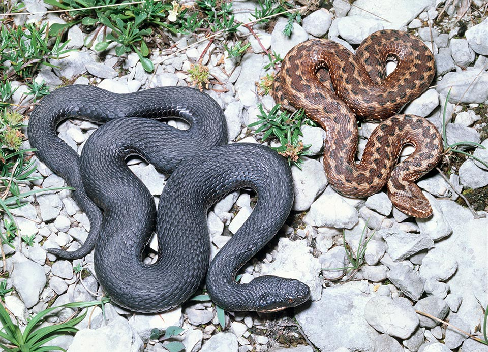 Melanistic form and reddish specimen with the dark red pattern. For the snakes the venom is an important digestive they do not love to waste and the man is not a prey © Giuseppe Mazza