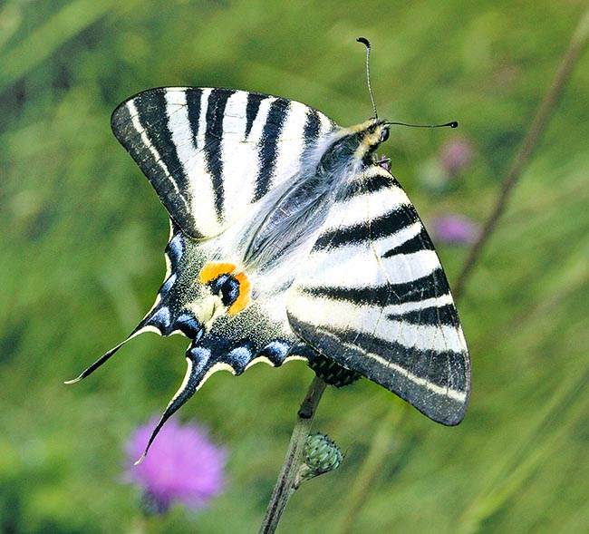 At times mistaken with Swallowtail, the Scarce swallowtail (Iphiclides podalirius) reaches the 9 cm of wingspan © Giuseppe Mazza