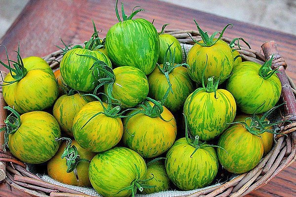 Green Zebra: 5-7 60-120 g and 5-7 cm fruits bunches. Firm not sour pulp © Le Tomatologue