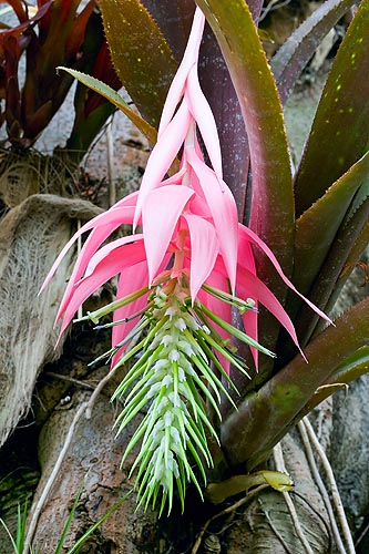 One of the most showy and imposing Billbergia © Mazza