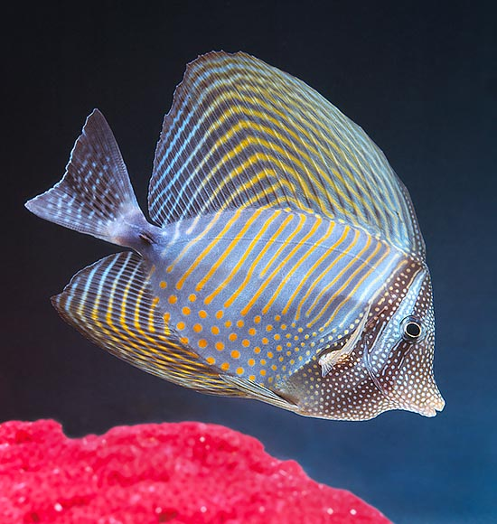 Zebrasoma desjardinii's size doubles when the fins are spread © Giuseppe Mazza