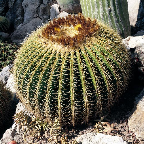The Echinocactus grusonii is also called Mother-in-law's Cushion © Giuseppe Mazza