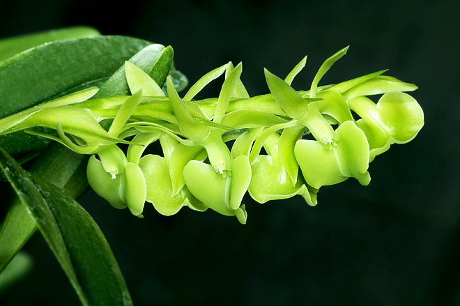 The coriaceous and waxy odd green flowers of Epidendrum coriifolium form 10-25 cm racemes © Giuseppe Mazza