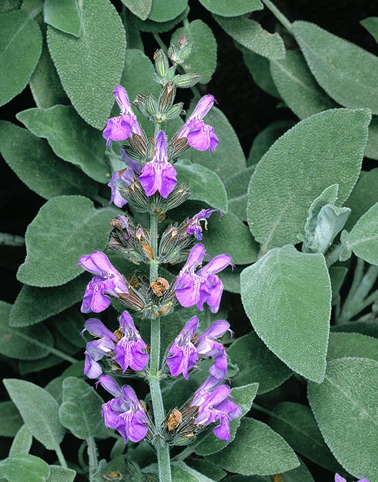 Salvia officinalis flowers pollinate the bees back with a marbell-like mechanism © G. Mazza