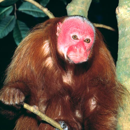 The Cacajao rubicundus is endemic to Amazonia, Rio Japurá and Rio Negro © G. Mazza