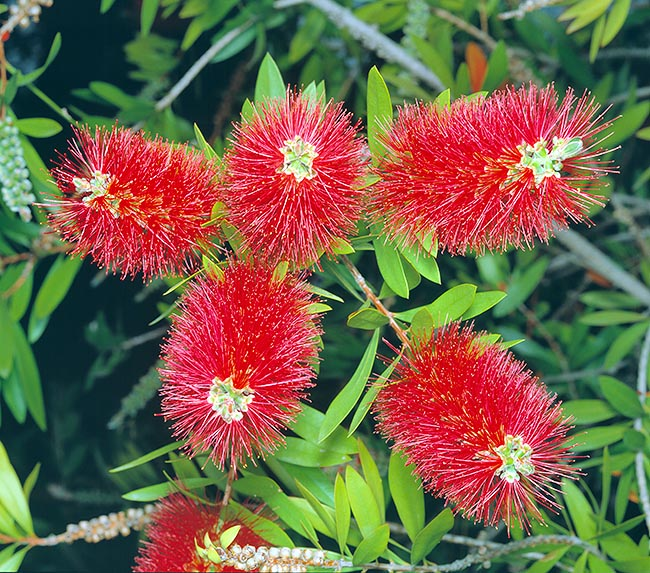 Callistemon speciosus is an Australian shrub with showy bottlebrushes-like inflorescences © Giuseppe Mazza
