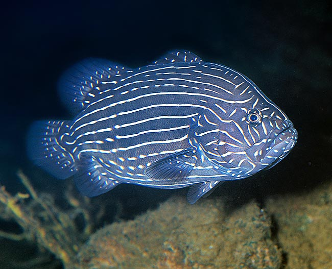 Grammistes sexlineatus is an unusually shaped grouper, known in various languages as soapfish © Giuseppe Mazza