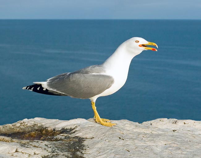 Larus michahellis, Laridae, Yellow legged gull