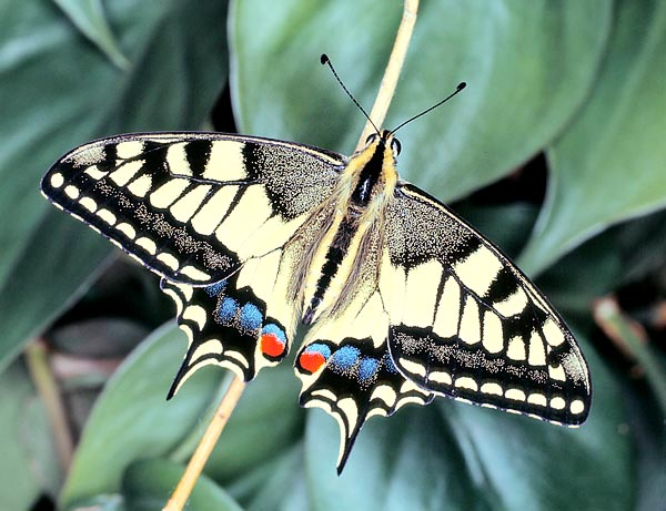 The Machaon (Papilio machaon) is possibly the finest Italian butterfly © Giuseppe Mazza