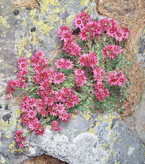 The Sempervivum arachnoideum lives even in little soil, up to 3000 m © Giuseppe Mazza