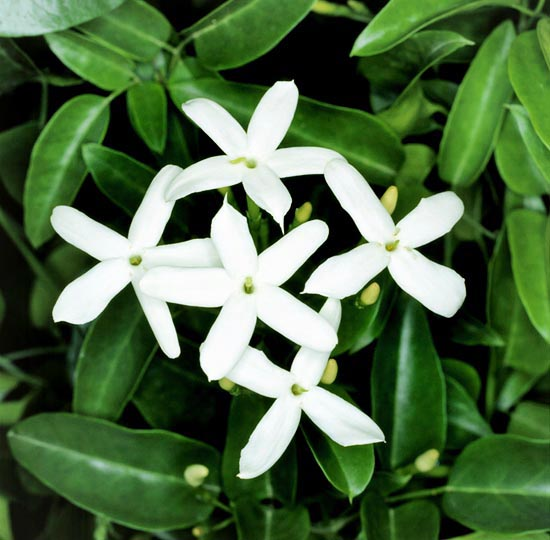 The Azores jasmine (Jasminum azoricum) comes from Madeira and resists to -6 °C © G. Mazza