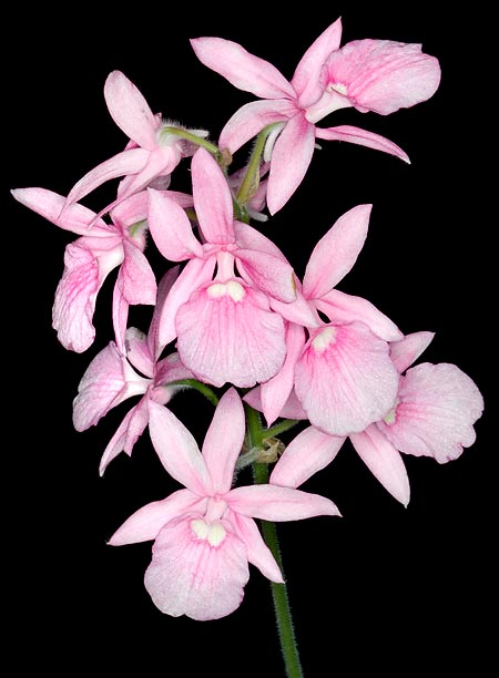 Calanthe rosea flowering lasts even 2 months © Giuseppe Mazza