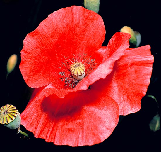 The subspecies Papaver rhoeas strigosum has no dark central drawing © Giuseppe Mazza