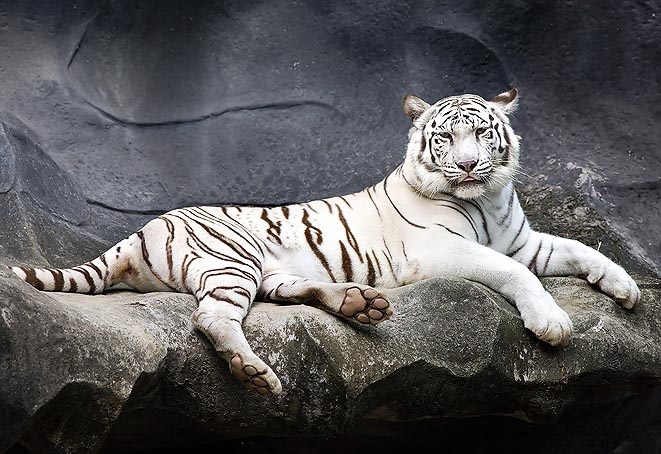 Also this white striped tiger, with the Siberian's skull, is a clear genetic drift © Giuseppe Mazza