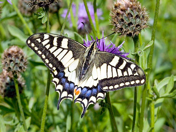 Machaon life is short. They die after coupling and spawning © Giuseppe Mazza