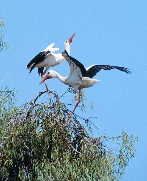 Storks are dumb and communicate by bill clattering © Giuseppe Mazza