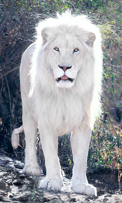 Panthera Leo Monaco Nature Encyclopedia