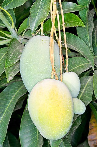 Rootstock of mango in humid climates © G. Mazza