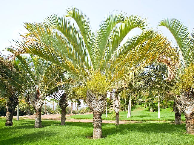Called Triangle palm for its look. Amply cultivated in the Tropics © Giuseppe Mazza