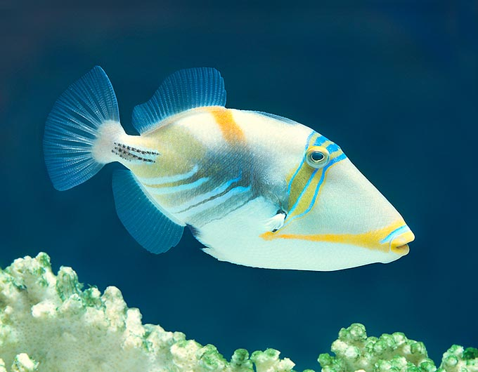 The White-banded triggerfish (Rhinecanthus aculeatus) astonishes for the unusual strokes of colour ratus © G. Mazza