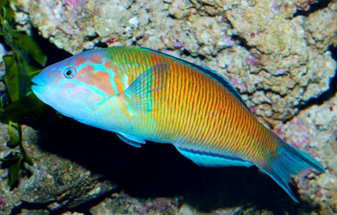 Thalassoma pavo var. lineolata. Nowadays they say it's a transition phase © Giuseppe Mazza