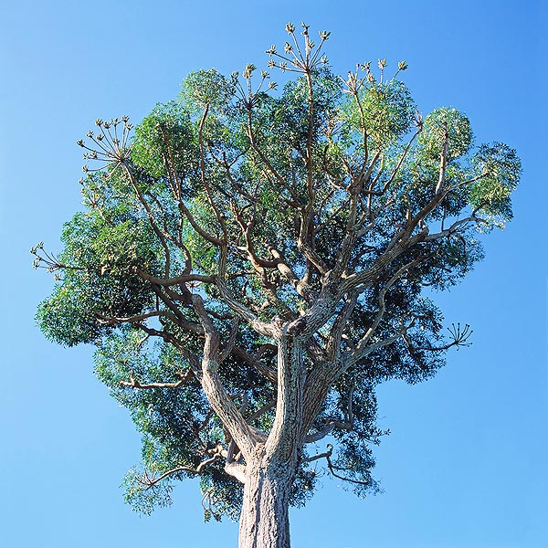 Very decorative tree, can be 15 m tall, and a remedy against malaria © Giuseppe Mazza
