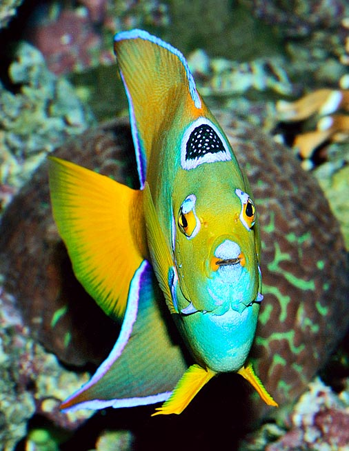 A fish with crown and eyelashes? Here is the Holacanthus ciliaris © Giuseppe Mazza