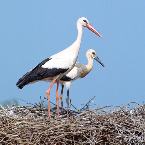 A White stork (Ciconia ciconia) with young in its nest © Giuseppe Mazza