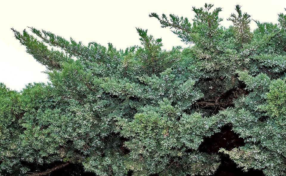 Juniperus sabina is an evergreen 1-1,5 m tall shrub with very ramose and prostrate posture. With circumboreal distribution, loves sunny slopes, very sparse  woods and the rocky habitats from 1000 m to 2500 m of altitude. All parts of the plant are very poisonous for animals and for the man © Giuseppe Mazza