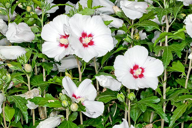 Hibiscus syriacus is a shrub of Chinese origin, that can be 4 m tall and can stand the cold © Giuseppe Mazza